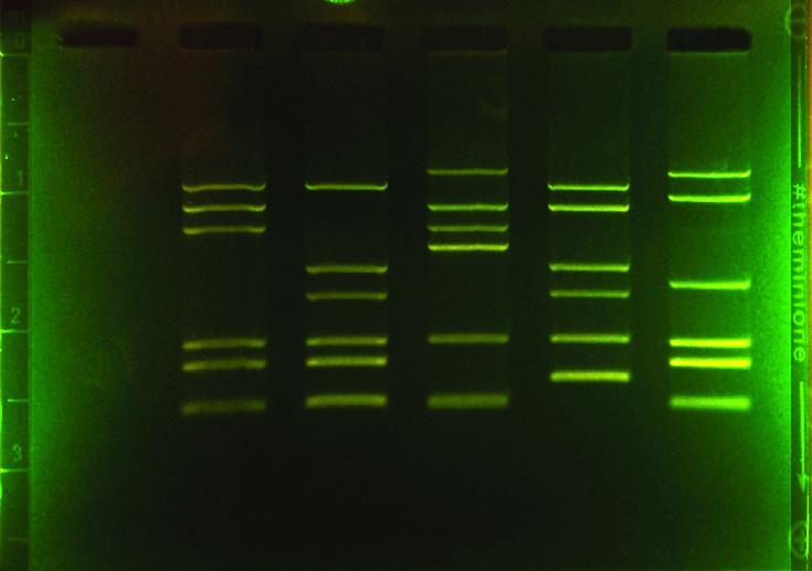 Docentenpakket gelelektroforese 101