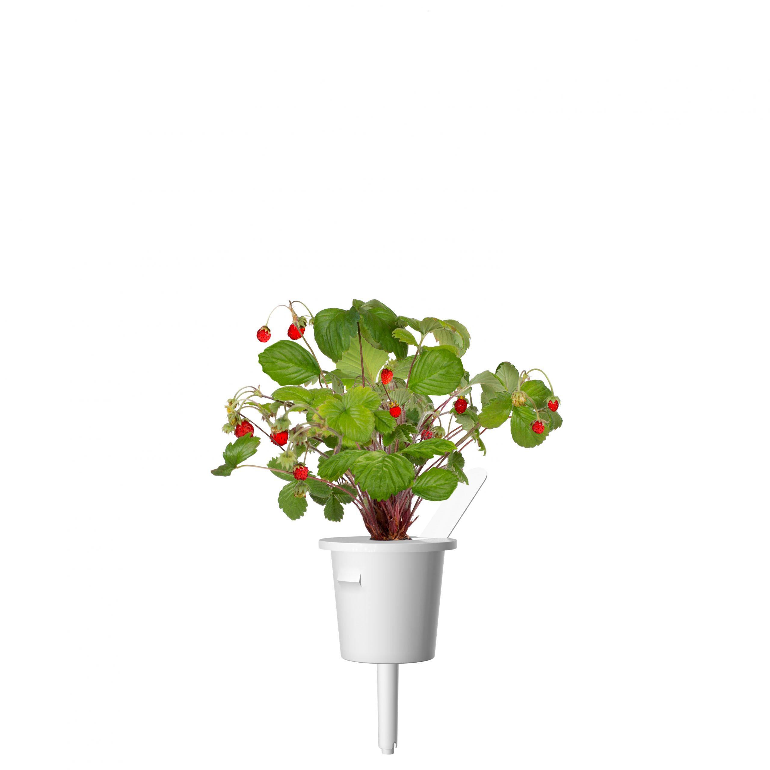 Click & Grow Bosaardbei 3-pack
