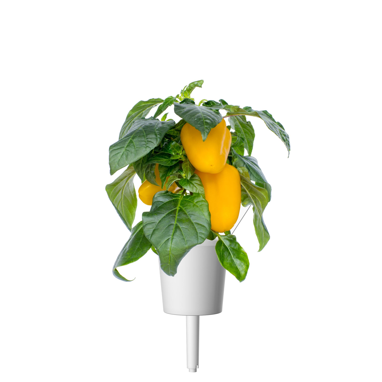 Click & Grow Gele Paprika Pods