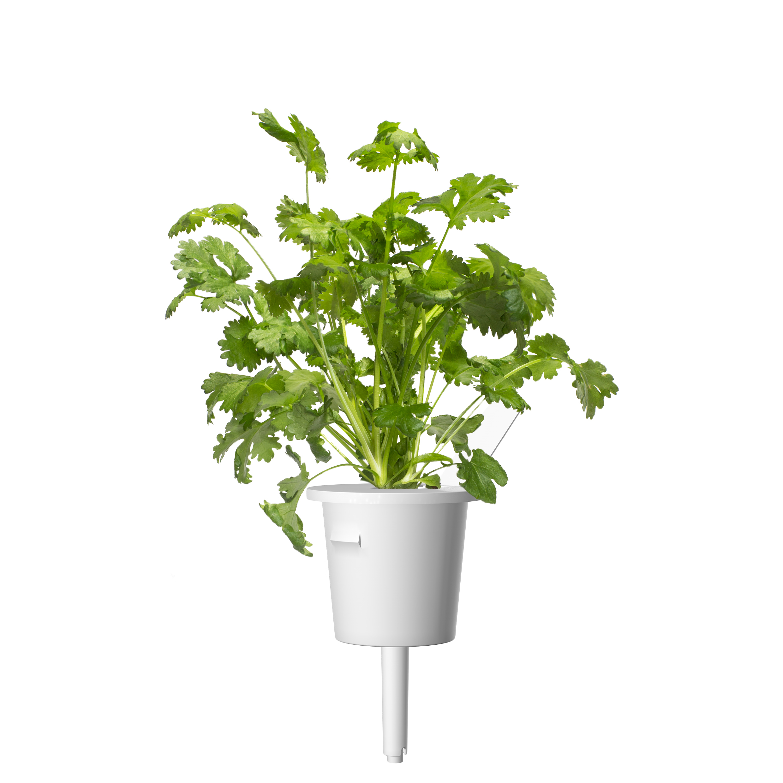 Click & Grow Koriander Pods