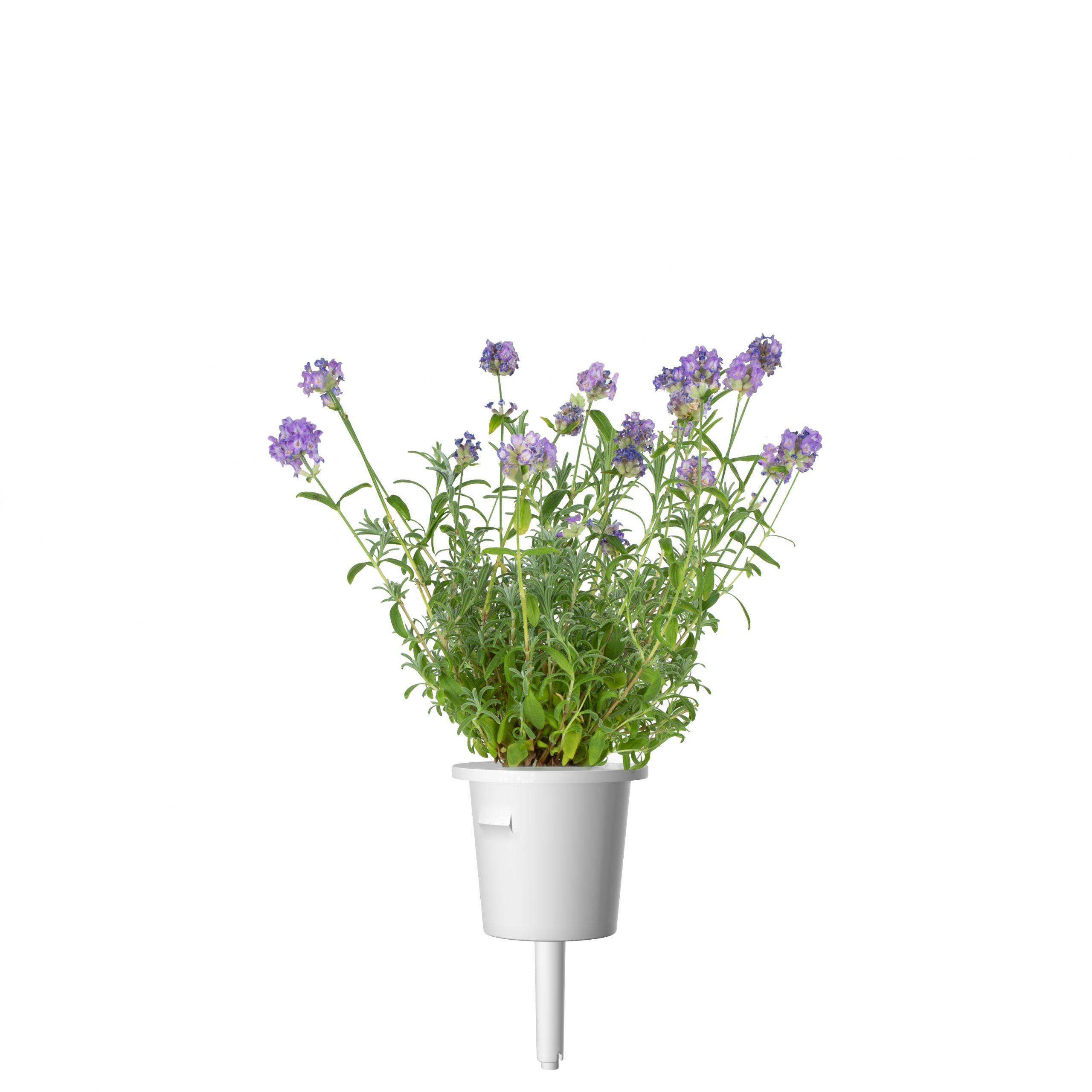 Click & Grow Lavendel Pods