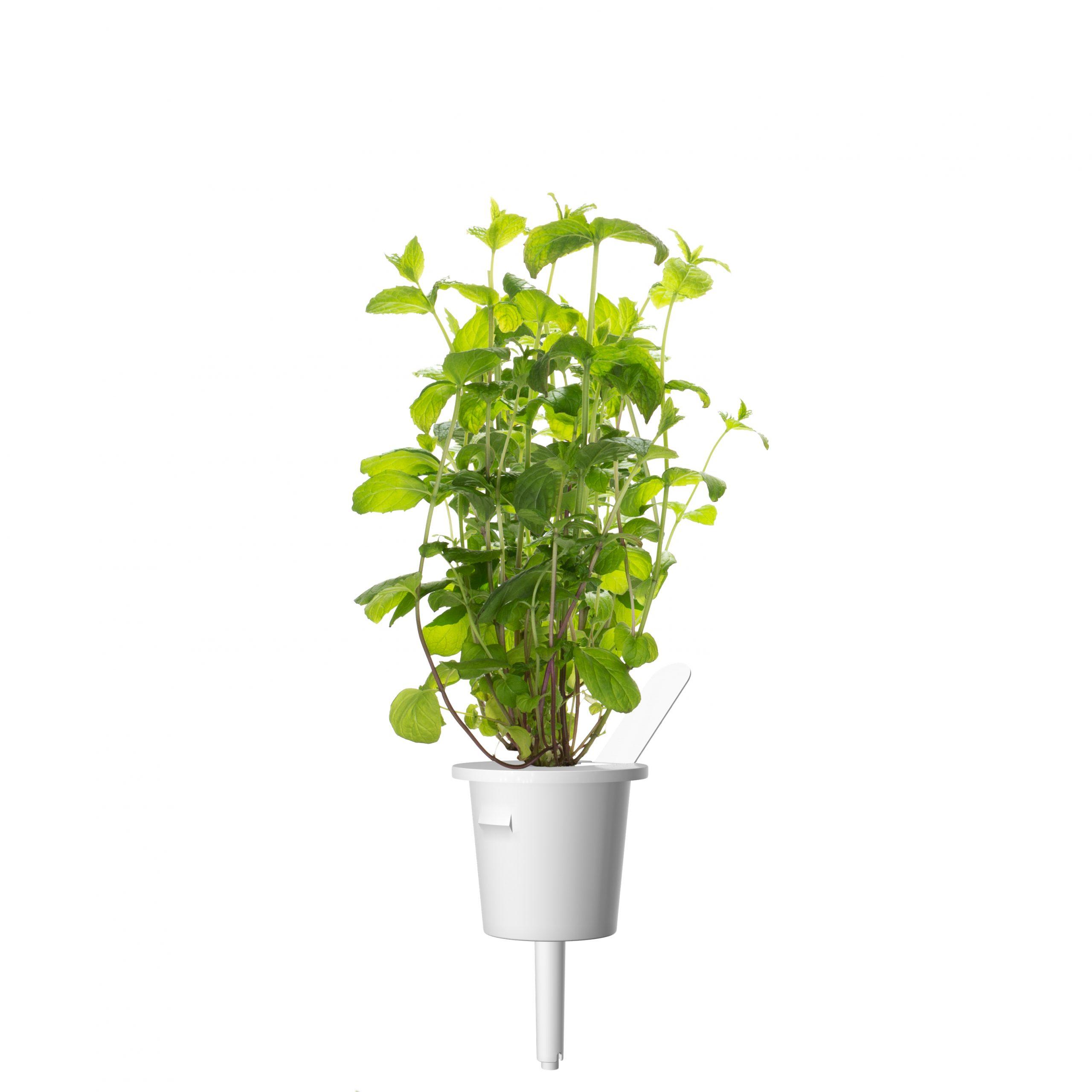 Click & Grow Pepermunt Pods