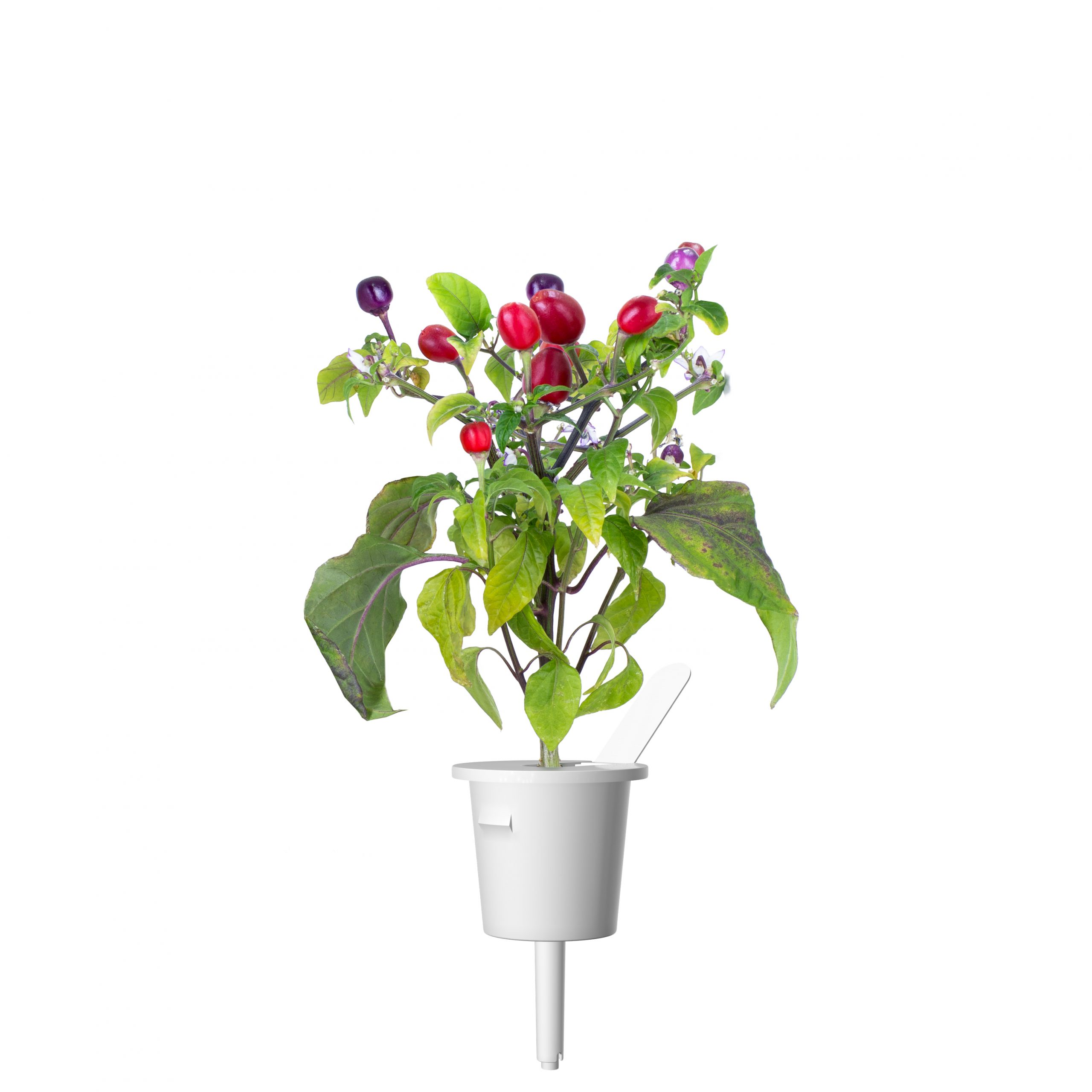 Click & Grow Paarse Chili Pods