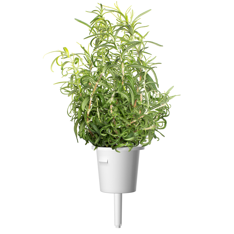 Click & Grow Rozemarijn Pods